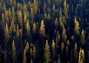 Larches falling into shadow