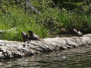 I believe there was a mom and three babies. They were more curious than shy as we watched them fish with the utmost of ease.