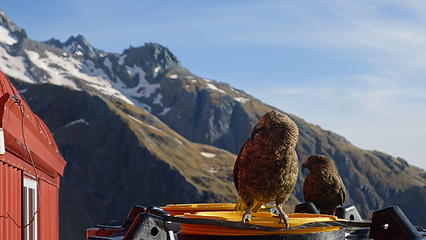 Kea at the French hut