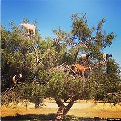 o-GOATS-IN-TREES-570
