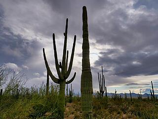 Saguaros and sky