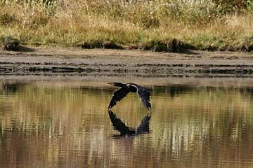 Cormorant at Oxbow Bend