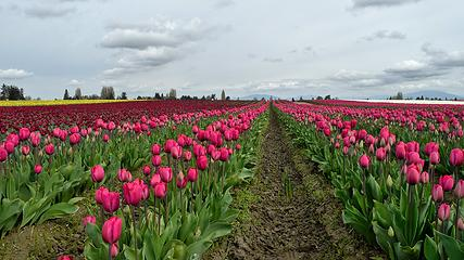 That's a lot of tulips. My favorite ones. Roozengaarde Flowers & Bulbs, WA