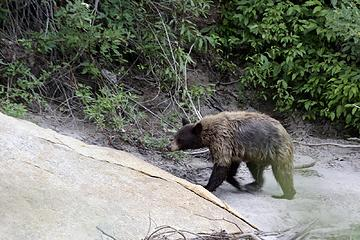 Juvenile Black bear, Rae Lakes Loop, Kings Canyon National Park