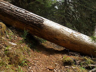 quite a few logs like these across trail.  I crawled under most.