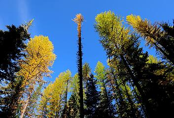 Variety of larch shapes and colors
