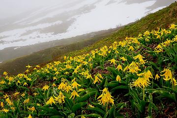 Glacier Lilies in Boston Basin