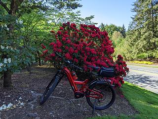 New red bike wrapped in a red rhododendron bow