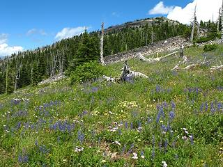 Here come the flowers!  Abercrombie summit in the background.