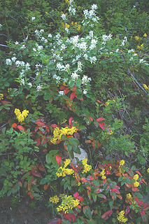 Methow River service berry, oregon grape in bloom