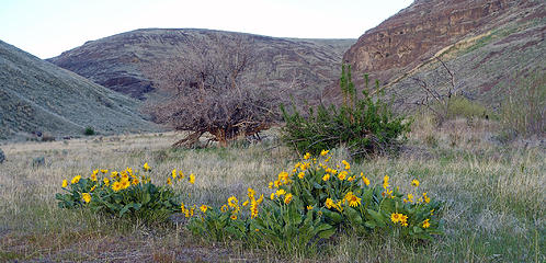 Balsam Root up the Quilomene Creek drainage.