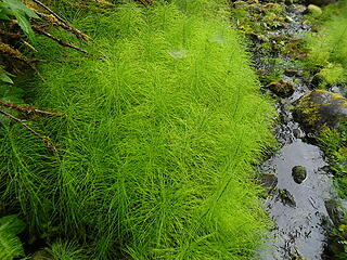 bright green horsetails (no this image was not edited).