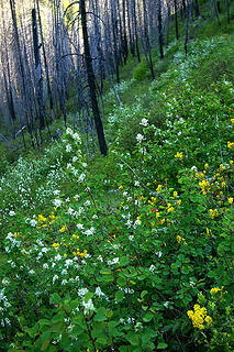 Methow River service berry, oregon grape in full bloom, Needles fire blackend trees
