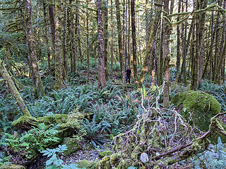 Once across the Pratt River we had 3500' of gain through forest just to get to the final summit climb. We expected a lot of brush but right off we only had to make our way through a forest filled with very healthy sword ferns.