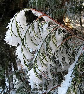 Cedar Frost