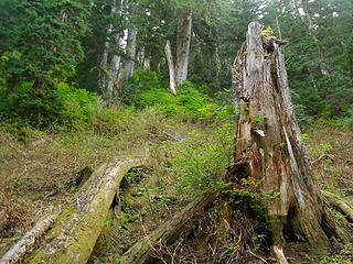"Big stump in clearing before heading up the ""brush-bash"""