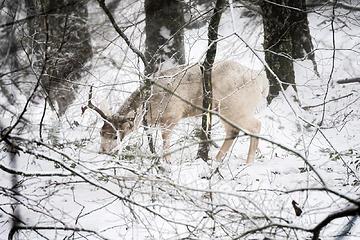 Young buck in his winter coat