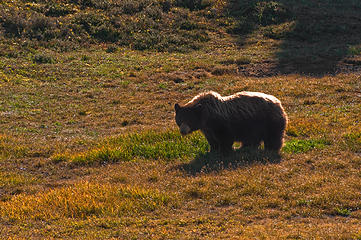Not a great shot ... but you get the idea .. a beautiful bear in Spray Park at the end of a spectacular day