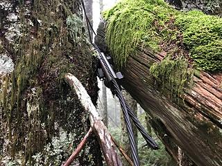 Tower leg fallen and wedged between 2 younger trees