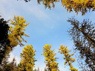 Sky full of larch tops
