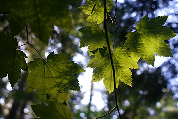 fir needle shadows on vine maple leaves