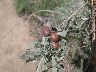 Sage berries