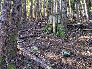 Springboard stump at 2100', still open forest