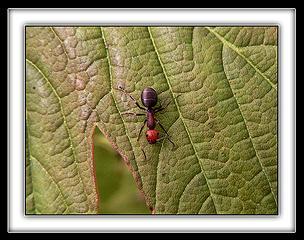 Ant Onda Leaf 2, 5.12.08.