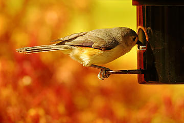 15- Tufted Titmouse