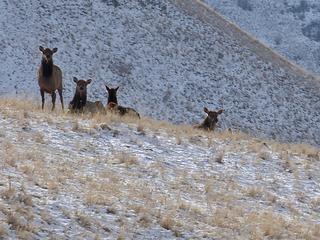 Curious elk.