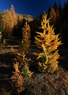 Larch in the Entiat