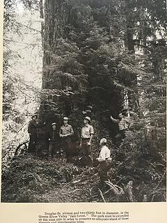 Queets Big Fir photo 1938