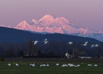 Trumpeters and Mt Baker alpenglow