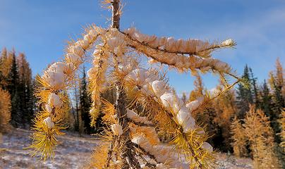 Little larch waving it's snowy arms