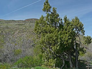 Western Juniper, seems pretty far north, but we saw two along this hike.