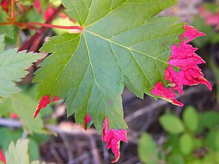 Douglas maple leaf