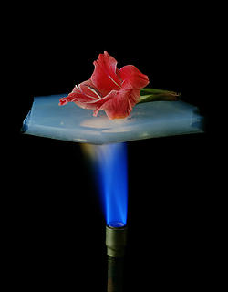An aerogel protecting a flower from an open flame.