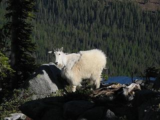 Goat near camp