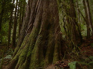 A large cedar.