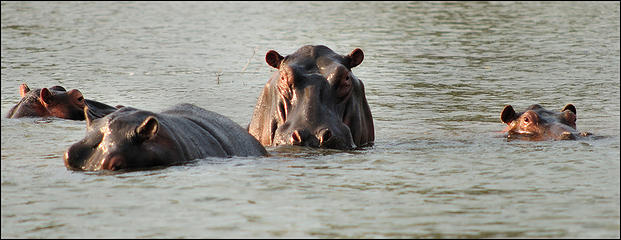 Hippo near launch ramp, Lake Kariba, Zimbabwe